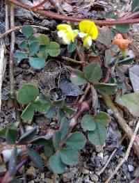 Lotus alamosanus image