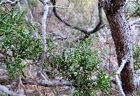 Juniperus arizonica image