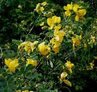 Senna pallida image