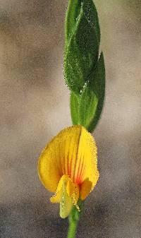 Zornia reticulata image