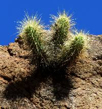 Echinocereus nicholii image