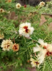 Acacia occidentalis image