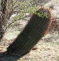 Ferocactus emoryi image